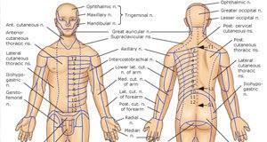 Periferni nervi